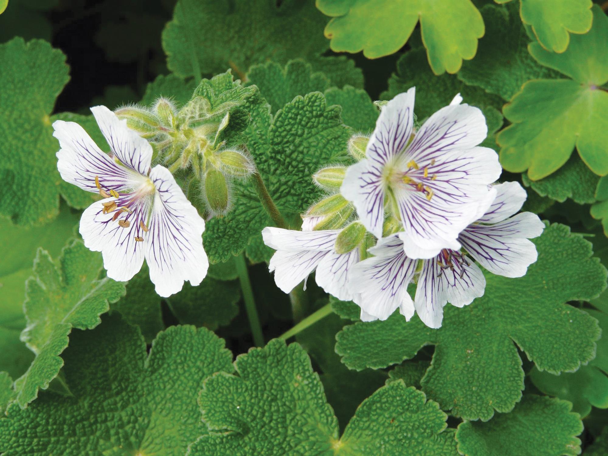 Vaste planten kopen voor uw tuin tuincentrum de molen - Sterke witte werpen en de bal ...