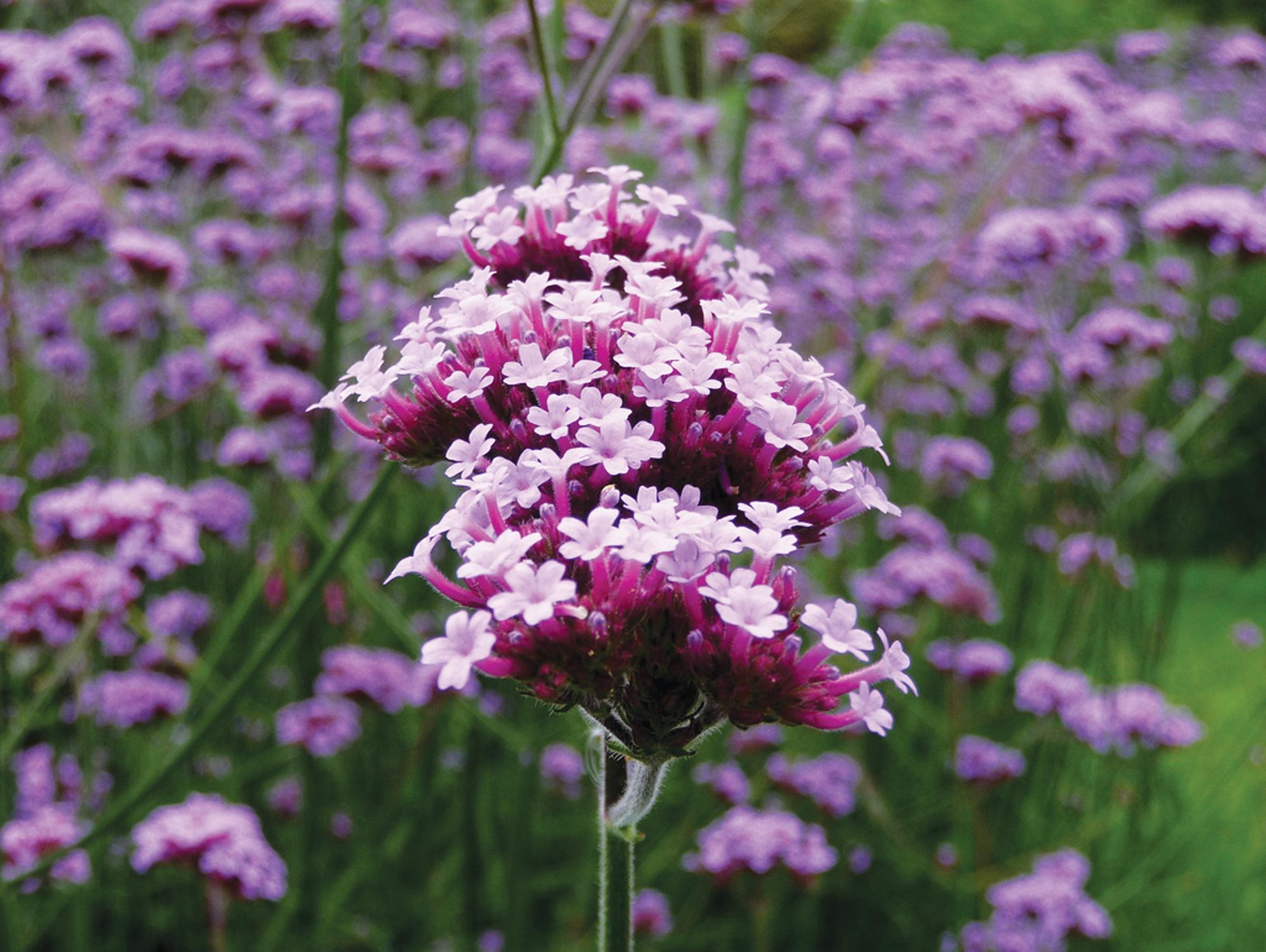 Vaste Planten Tuin : Vaste planten kopen voor uw tuin tuincentrum de molen