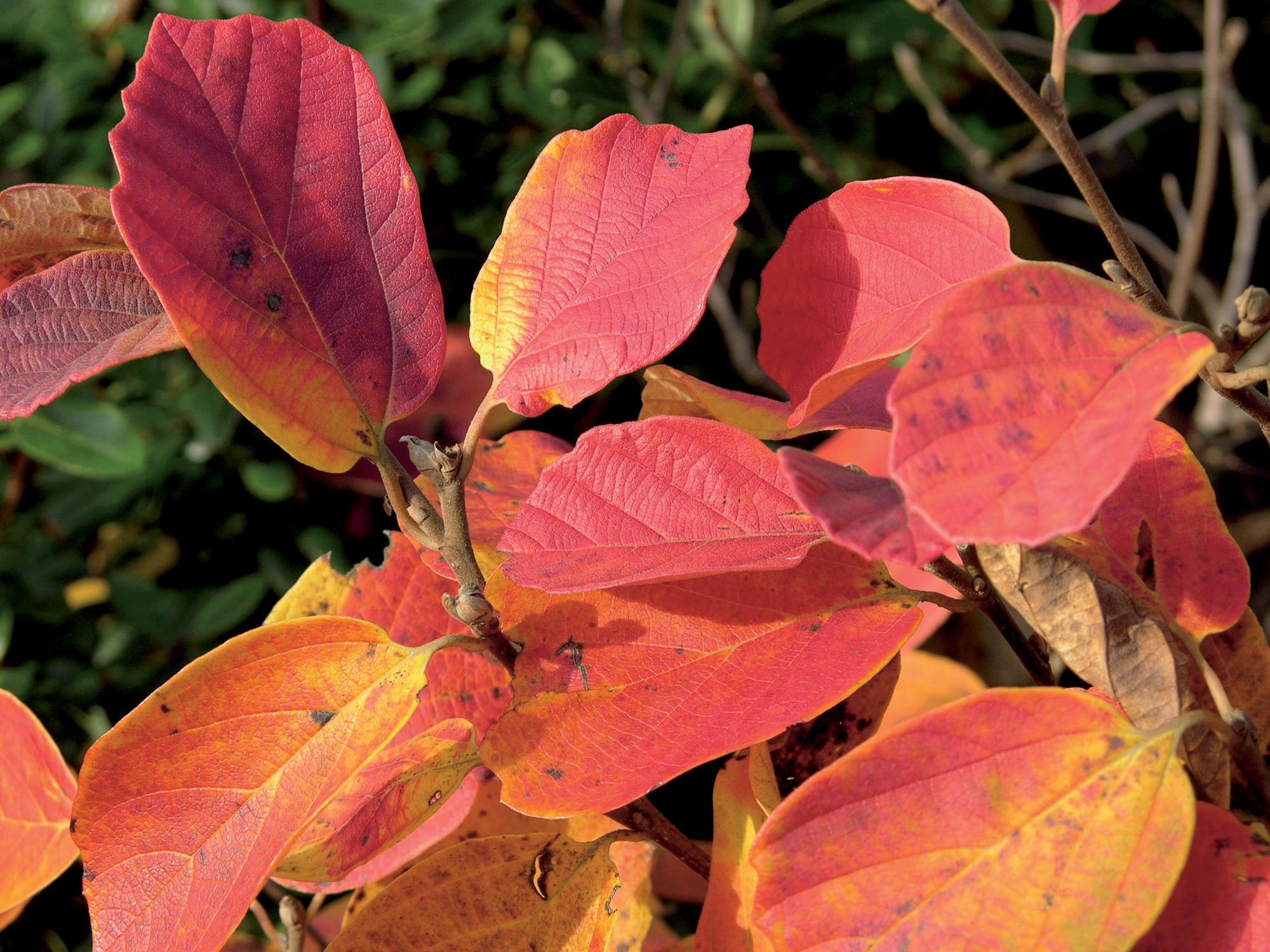 Les arbustes d 39 ornement tuincentrum de molen - Arbustes d ornement exterieur ...
