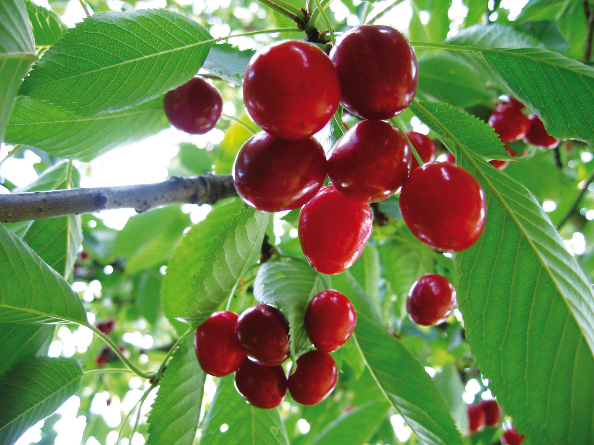 Voorkeur Fruitbomen en Kleinfruit kopen voor uw tuin - Tuincentrum De Molen @YO76