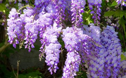 Klimplanten en gevelplanten kopen voor uw tuin for Glicina planta